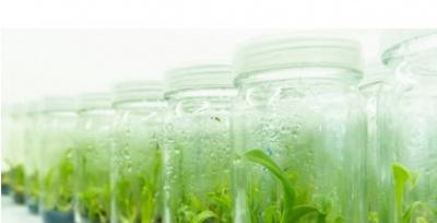 Qui trình nhân giống hoa lan bằng phương pháp nuôi cấy mô tế bào